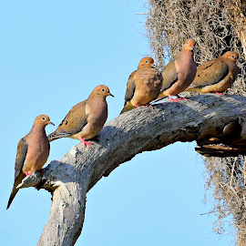 Doves by Ruth Overmyer - Animals Birds (  )
