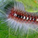 Moth catepillar