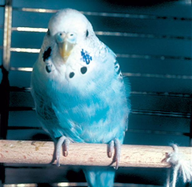 A bird infected with C. psittaci organism may not have clinical signs