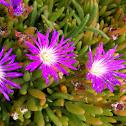 Noon flower