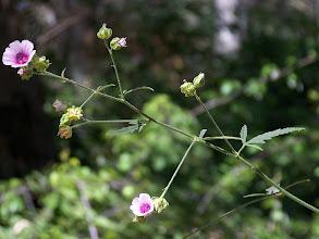 Photo: Althaea cannabina