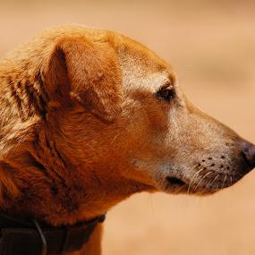by Mallikarjun Nath - Animals - Dogs Portraits