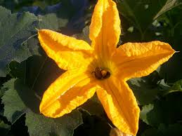 Image result for pumpkin flower