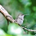 Ruby-throated hummingbird juvenile