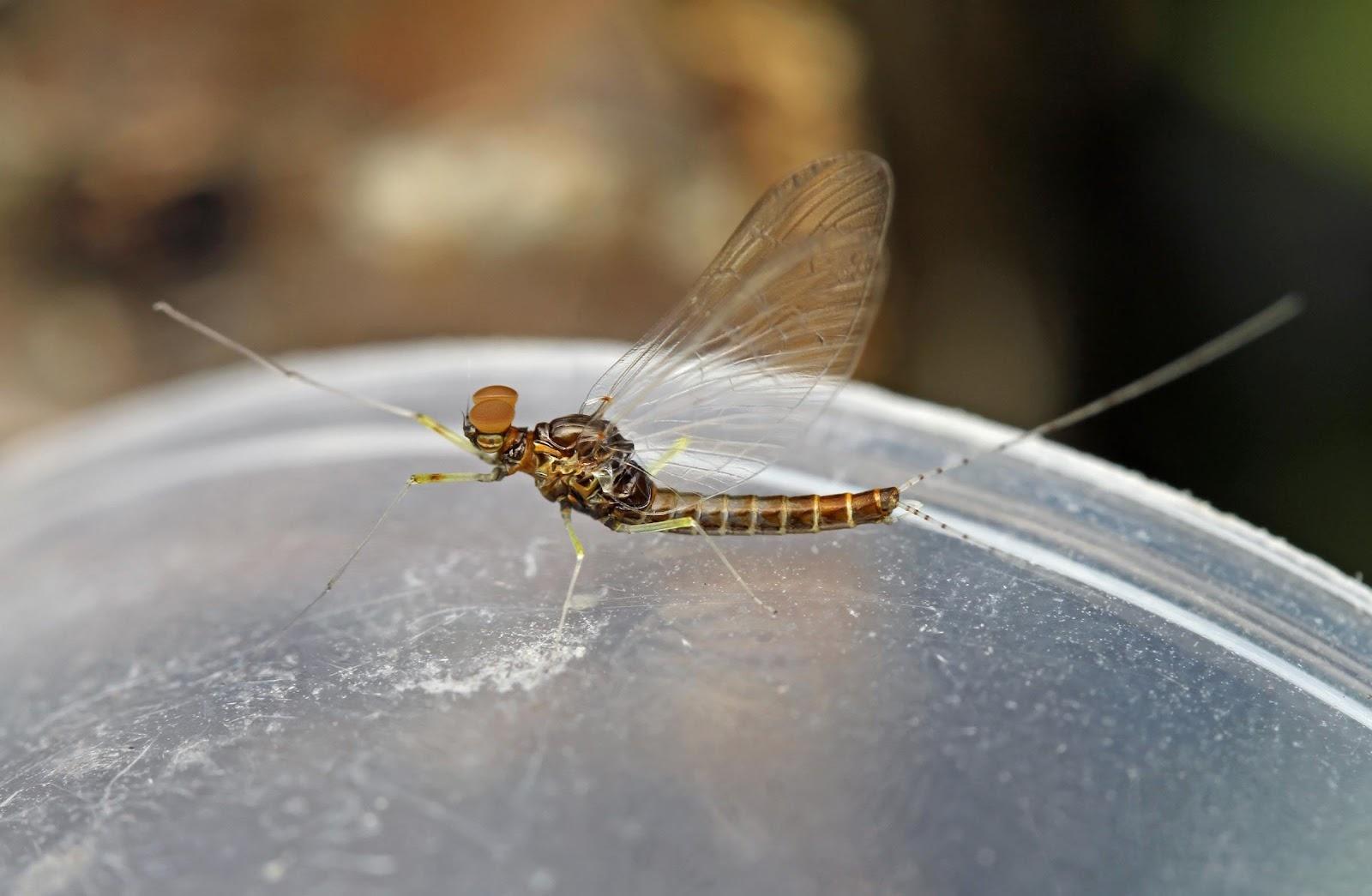 Baetidae sp.