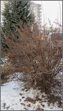 Photo: ? - Fizocarpul roșu Diabolo (Physocarpus opulifolius Diabolo)  - de pe Calea Victoriei, Mr.2, spatiu verde  - 2017.01.28