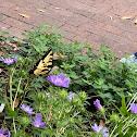 Eastern tiger snowtail