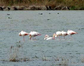 Photo: Eurasian Flamingo (Fenicottero), Vendicari Wetlands, south of Avola