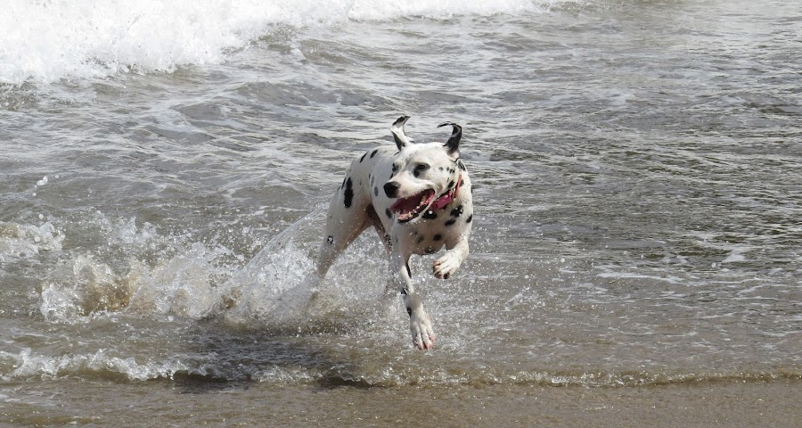 Play time by Karen Noble - Animals - Dogs Running (  )
