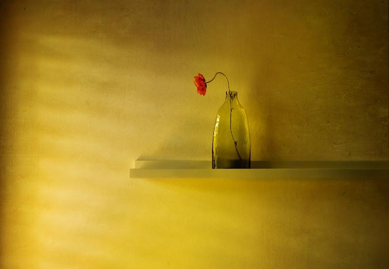 Luce solare su un papavero di Canguro