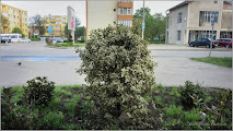 Photo: Laur (Ilex aquifolium variegata) - dde pe Calea Victoriei, zona Materna - 2016.04.20 album http://ana-maria-catalina.blogspot.ro/2016/04/laur-ilex-aquifolium-variegata.html