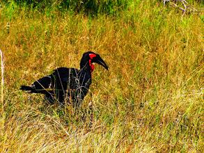 Photo: Red billed Hornbill in Kruger NP