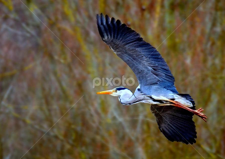 huron flight by Ghislain Vancampenhoudt - Animals Birds ( huron, forest, spring, sun, full flight )
