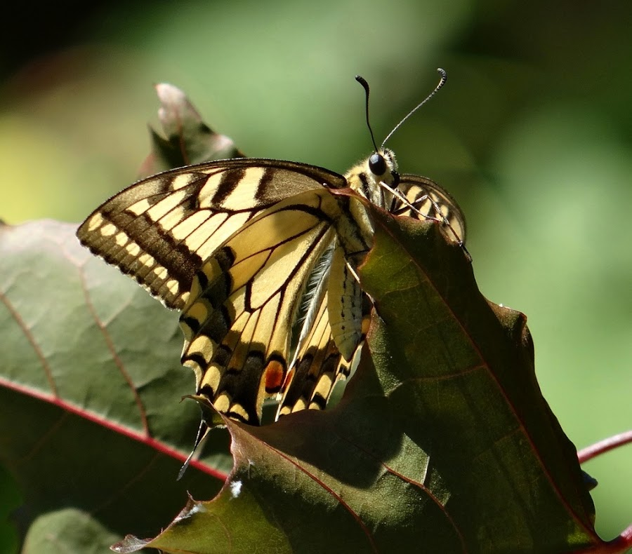 Swallowtail butterfly by Dubravka Bednaršek - Animals Insects & Spiders (  )