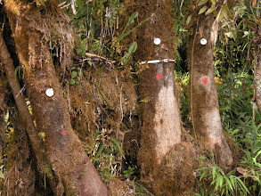 Photo: Tagged trees - the one in the middle is fitted with a dendrometer for measuring growth