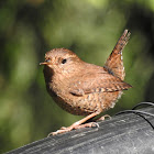 Pacific Wren: successful nesting near man