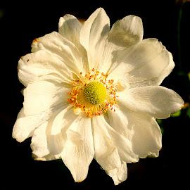 Abutilon vitifolium by Gérard CHATENET - Flowers Single Flower