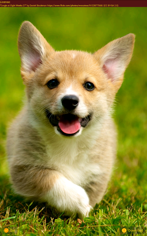 Cute Corgi Wallpapers Android Apps On Google Play