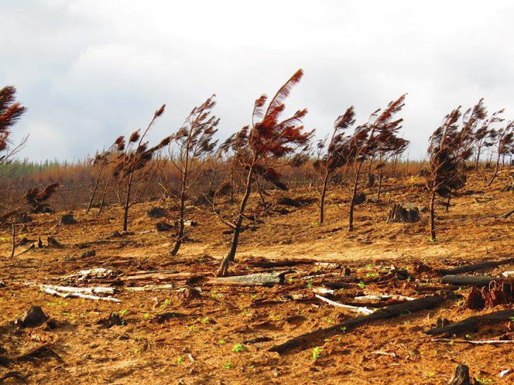 A burned-out plantation near Harkerville shortly after the 2017 Knysna wildfire.