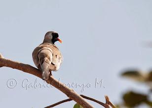 Photo: Tortolita rabilarga (Oena capensis)