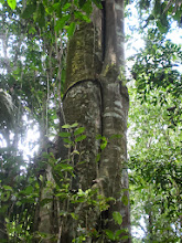 Photo: The next three shots are of strangler figs. The trees wrap themselves around other trees and eventually kill them, leaving a hollow space in the middle once the other rots away.