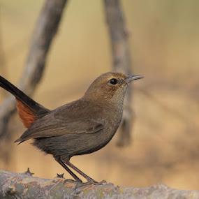 indian robin by Dr. Mahendra singh Rathore - Animals Birds