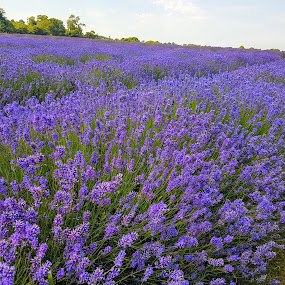 lavender fields by David Morrison - Flowers Flowers in the Wild ( lavender fields )