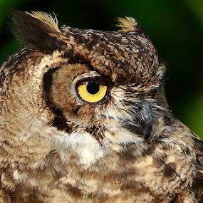 OWL OF THE TOWERS... by JORGE JACINTO - Animals Birds ( bird, animal,  )