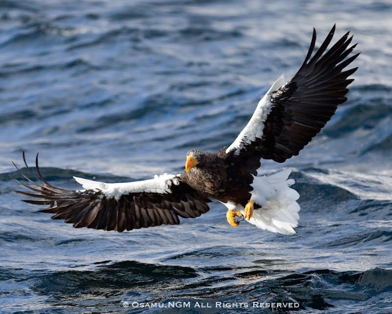 水面を飛ぶ大鷲