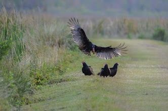 Photo: Black Vultures congregating on the path; Lake Woodruff NWR