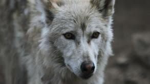Southern Rocky Mountain Wolf thumbnail