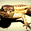 Western Fence Lizard - female