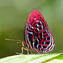 Banded Red Harlequin