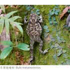 Bufo melanostictus 黑眶蟾蜍