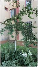 Photo: Calea Victoriei, B15, spatiu verde -  piersic - 2017.06.07