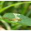 Nephrotoma sp. 短柄大蚊