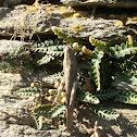 Egyptian grasshopper
