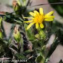 Yellow flower, Wild Mignonette?