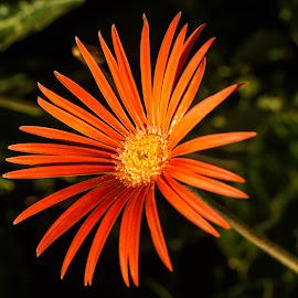 by Amit Baran Sen - Flowers Single Flower (  )