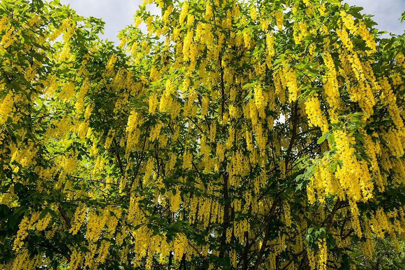 Una cascata di giallo di LucaMonego