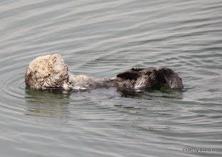Photo: (Year 3) Day 20 - Otter Floating #3