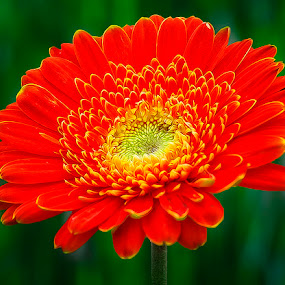 the orange by Fadly Shaputra - Nature Up Close Flowers - 2011-2013