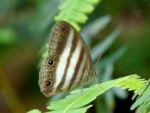 Photo: WHITE (TWO-BANDED) SATYR--pareuptychia ocirrhoe--EL CAPRICHO TRACK