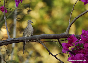 Photo: Inca Dove, Puerto Vallarta Botanical Gardens