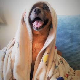 May the 4th be with you... by Todd Coleman - Animals - Dogs Portraits ( holbrook, ginger, blanket, portrait, dog, pet, home,  )