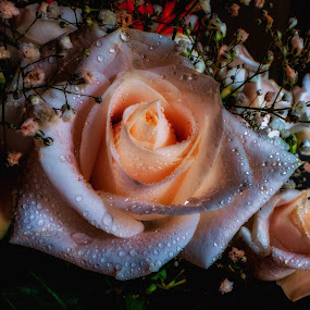 Awakening Rose by Dave Walters - Flowers Single Flower ( mystical, nature, colors, artistic, flowers,  )