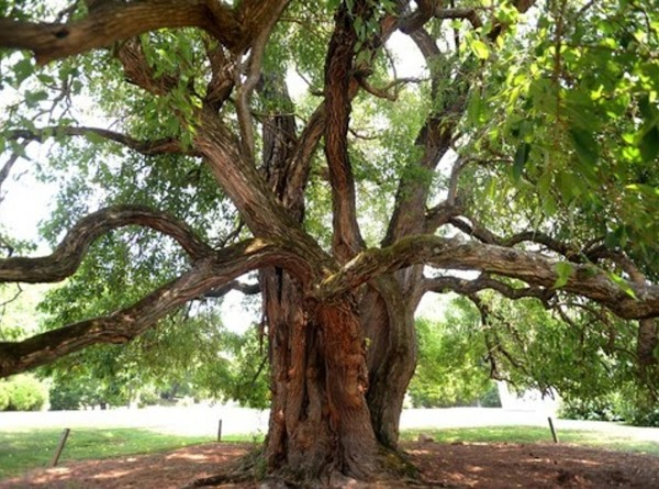 The centuries-old Osage-orange tree that reigns over Patrick Henry's home in Red Hill has...