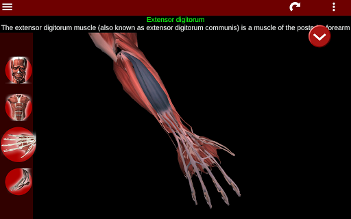 Muscular System 3D (anatomy) 2.0.8 Screenshots 11