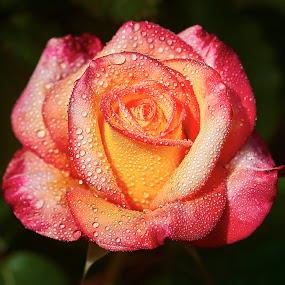 0 Rose 9735~ 1 by Raphael RaCcoon - Flowers Single Flower