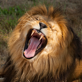 Lion Roar by Keith Reling - Animals Lions, Tigers & Big Cats ( teeth, roar, lion,  )